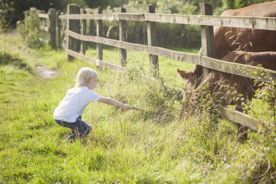 A young boy near a wooden fence feeding some cows in summertime.