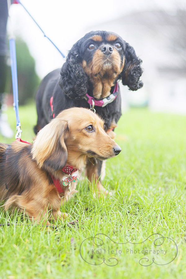 Frankie the Dachshund and Chelsea the King Charles Spaniel