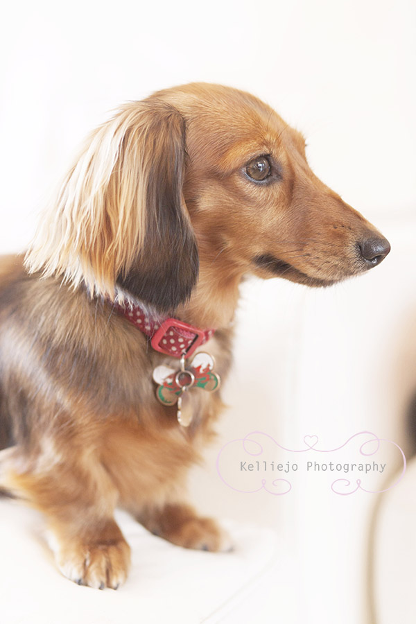 Frankie the Dachshund.