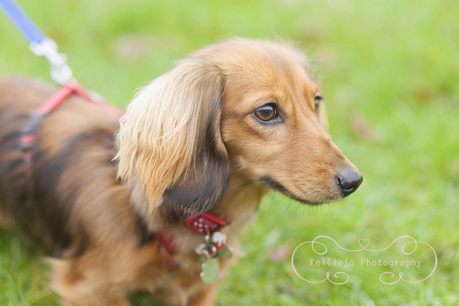 Frankie the Dachshund